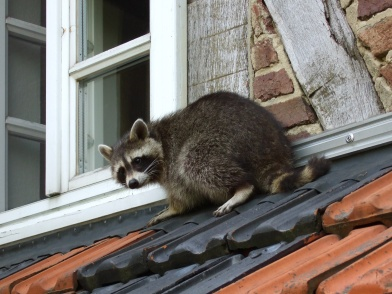 2014-09-28 - Raccoon on Roof